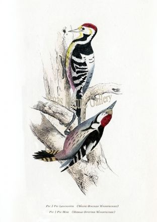 Woodpecker, White-Backed & Middle-Spotted Woodpecker Ref: EuropeanBirds-e72